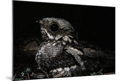 Nightjar on Ground, Woodland, Spain (Caprimulgus Europaeus)--Mounted Photographic Print