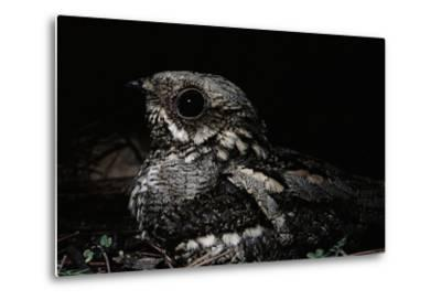 Nightjar on Ground, Woodland, Spain (Caprimulgus Europaeus)--Metal Print