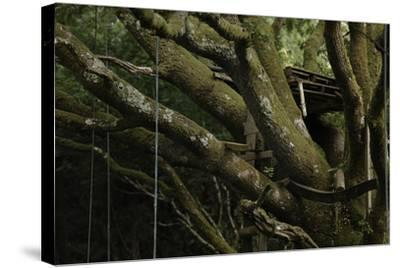 Oak Tree (Quercus Sp) with Ropes for Climbing and a Wooden Pallet to Create a Platform-Solvin Zankl-Stretched Canvas Print