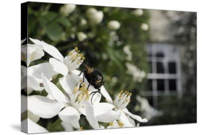 Noon Fly (Mesembrina Meridiana) on Mexican Orange Blossom (Choisya Ternata) Flowers in Garden-Nick Upton-Stretched Canvas Print