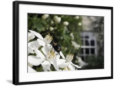 Noon Fly (Mesembrina Meridiana) on Mexican Orange Blossom (Choisya Ternata) Flowers in Garden-Nick Upton-Framed Photographic Print