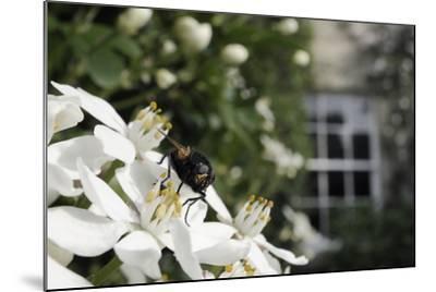 Noon Fly (Mesembrina Meridiana) on Mexican Orange Blossom (Choisya Ternata) Flowers in Garden-Nick Upton-Mounted Photographic Print