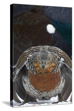 Female Capercaillie (Tetrao Urogallus) Ready to Mate, Vaala, Finland, May-Markus Varesvuo-Stretched Canvas Print