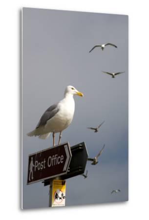 Seagulls in Padstow Harbour, Cornwall, England-Adam Burton-Metal Print