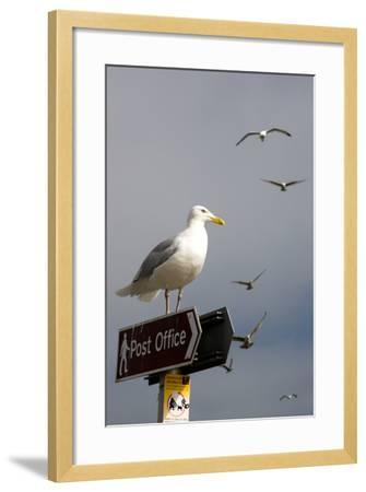 Seagulls in Padstow Harbour, Cornwall, England-Adam Burton-Framed Photographic Print