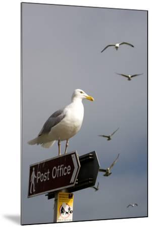 Seagulls in Padstow Harbour, Cornwall, England-Adam Burton-Mounted Photographic Print