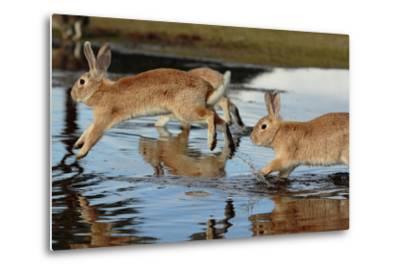 Feral Domestic Rabbit (Oryctolagus Cuniculus) Running in Puddle-Yukihiro Fukuda-Metal Print