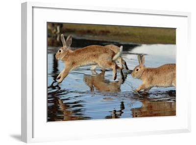 Feral Domestic Rabbit (Oryctolagus Cuniculus) Running in Puddle-Yukihiro Fukuda-Framed Photographic Print