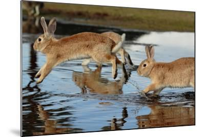 Feral Domestic Rabbit (Oryctolagus Cuniculus) Running in Puddle-Yukihiro Fukuda-Mounted Photographic Print