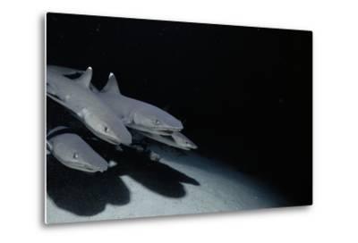 Whitetip Reef Shark Pack Hunting at Night (Triaenodon Obesus) Cocos Is, Costa Rica, Pacific Ocean--Metal Print
