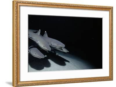 Whitetip Reef Shark Pack Hunting at Night (Triaenodon Obesus) Cocos Is, Costa Rica, Pacific Ocean--Framed Photographic Print