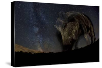 Wild Boar (Sus Scrofa) at Night with the Milky Way in the Background, Gyulaj, Tolna, Hungary-Bence Mate-Stretched Canvas Print