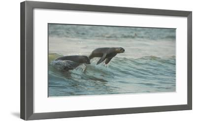 South African Fur Seals (Arctocephalus Pusillus Pusillus) Surfing Out on Wave. Walvisbay, Namibia-Wim van den Heever-Framed Photographic Print