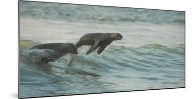 South African Fur Seals (Arctocephalus Pusillus Pusillus) Surfing Out on Wave. Walvisbay, Namibia-Wim van den Heever-Mounted Photographic Print