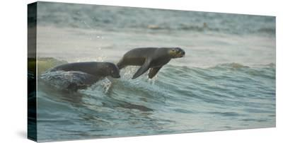 South African Fur Seals (Arctocephalus Pusillus Pusillus) Surfing Out on Wave. Walvisbay, Namibia-Wim van den Heever-Stretched Canvas Print