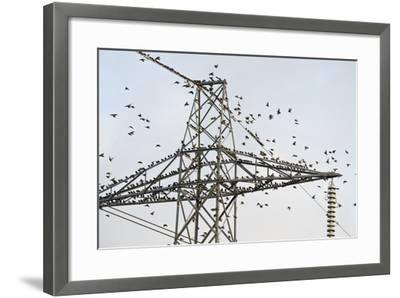 Flock of Starlings (Sturnus Vulgaris) Flying to Roost on Electricity Pylon-Terry Whittaker-Framed Photographic Print