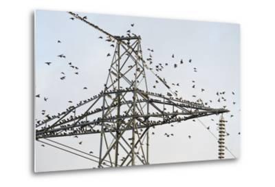 Flock of Starlings (Sturnus Vulgaris) Flying to Roost on Electricity Pylon-Terry Whittaker-Metal Print