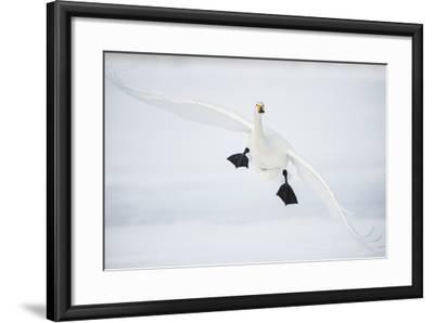 Whooper Swan (Cygnus Cygnus) Mid Flight over the Frozen Lake, Kussharo, Hokkaido, Japan-Wim van den Heever-Framed Photographic Print