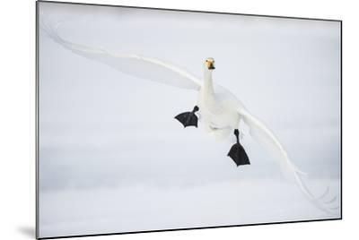 Whooper Swan (Cygnus Cygnus) Mid Flight over the Frozen Lake, Kussharo, Hokkaido, Japan-Wim van den Heever-Mounted Photographic Print