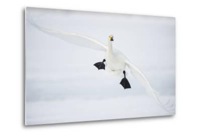 Whooper Swan (Cygnus Cygnus) Mid Flight over the Frozen Lake, Kussharo, Hokkaido, Japan-Wim van den Heever-Metal Print