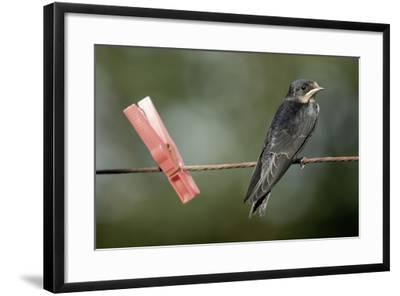 Juvenile Swallow (Hirundo Rustica) Perched on Clothes Line. Bradworthy, Devon, UK--Framed Photographic Print