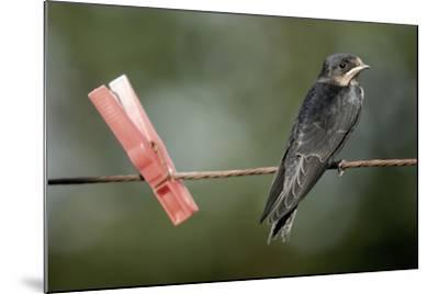Juvenile Swallow (Hirundo Rustica) Perched on Clothes Line. Bradworthy, Devon, UK--Mounted Photographic Print