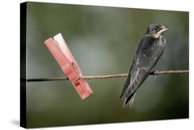 Juvenile Swallow (Hirundo Rustica) Perched on Clothes Line. Bradworthy, Devon, UK--Stretched Canvas Print