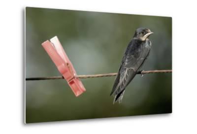 Juvenile Swallow (Hirundo Rustica) Perched on Clothes Line. Bradworthy, Devon, UK--Metal Print