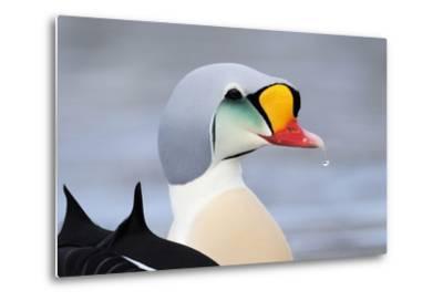 King Eider Duck (Somateria Spectabilis) Male, Batsfjord Village Harbour, Varanger Peninsula, Norway-Staffan Widstrand-Metal Print