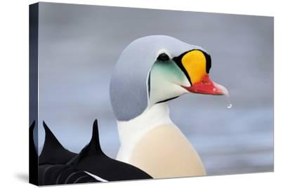 King Eider Duck (Somateria Spectabilis) Male, Batsfjord Village Harbour, Varanger Peninsula, Norway-Staffan Widstrand-Stretched Canvas Print