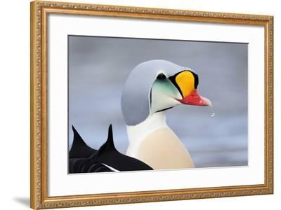 King Eider Duck (Somateria Spectabilis) Male, Batsfjord Village Harbour, Varanger Peninsula, Norway-Staffan Widstrand-Framed Photographic Print