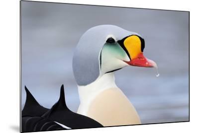 King Eider Duck (Somateria Spectabilis) Male, Batsfjord Village Harbour, Varanger Peninsula, Norway-Staffan Widstrand-Mounted Photographic Print