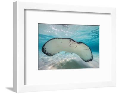 Southern Stingray (Dasyatis Americana) Swimming over a Sand Bar in the Early Morning-Alex Mustard-Framed Photographic Print