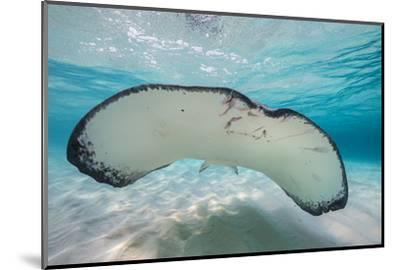 Southern Stingray (Dasyatis Americana) Swimming over a Sand Bar in the Early Morning-Alex Mustard-Mounted Photographic Print