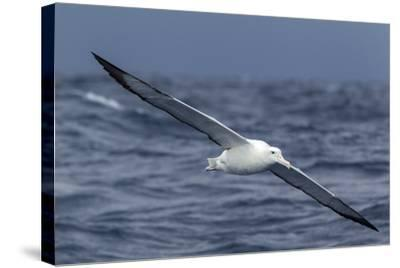 Southern Royal Albatross (Diomedea Epomophora) Flying Low over the Sea-Brent Stephenson-Stretched Canvas Print
