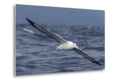Southern Royal Albatross (Diomedea Epomophora) Flying Low over the Sea-Brent Stephenson-Metal Print