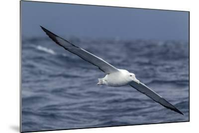 Southern Royal Albatross (Diomedea Epomophora) Flying Low over the Sea-Brent Stephenson-Mounted Photographic Print