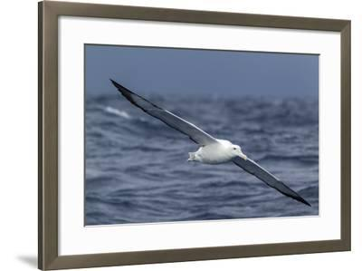 Southern Royal Albatross (Diomedea Epomophora) Flying Low over the Sea-Brent Stephenson-Framed Photographic Print