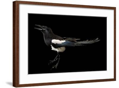 American Magpie, Pica Hudsonia.-Joel Sartore-Framed Photographic Print