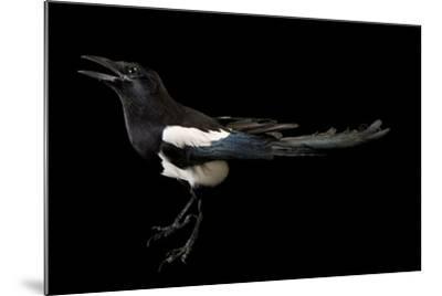 American Magpie, Pica Hudsonia.-Joel Sartore-Mounted Photographic Print