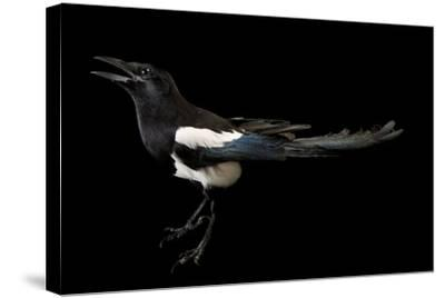 American Magpie, Pica Hudsonia.-Joel Sartore-Stretched Canvas Print