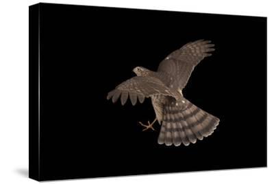 A Sharp-Shinned Hawk, Accipiter Striatus.-Joel Sartore-Stretched Canvas Print