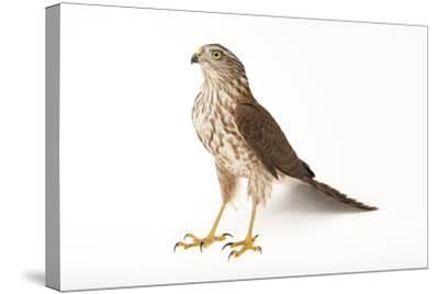A Sharp-Shinned Hawk, Accipiter Striatus.-Joel Sartore-Stretched Canvas Print