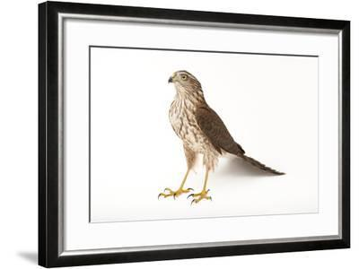 A Sharp-Shinned Hawk, Accipiter Striatus.-Joel Sartore-Framed Photographic Print