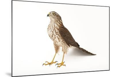A Sharp-Shinned Hawk, Accipiter Striatus.-Joel Sartore-Mounted Photographic Print