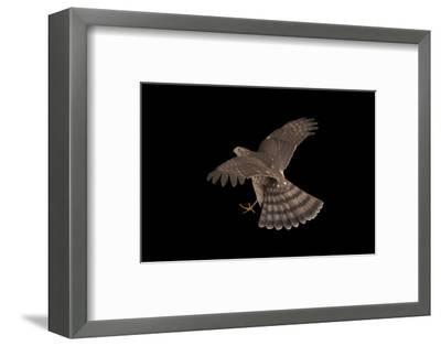 A Sharp-Shinned Hawk, Accipiter Striatus.-Joel Sartore-Framed Photographic Print