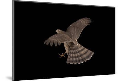 A Sharp-Shinned Hawk, Accipiter Striatus.-Joel Sartore-Mounted Photographic Print