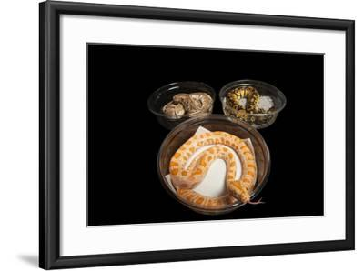 An Albino Burmese Python and Two Ball Python in Containers, Python Bivittatus, Python Regius.-Joel Sartore-Framed Photographic Print