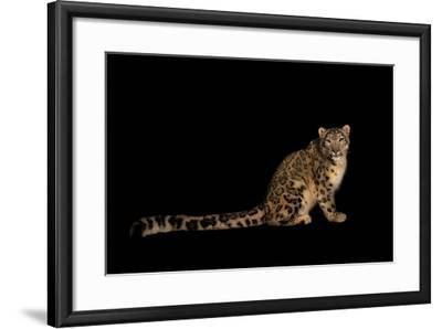 An Endangered Snow Leopard, Uncia Uncia.-Joel Sartore-Framed Photographic Print