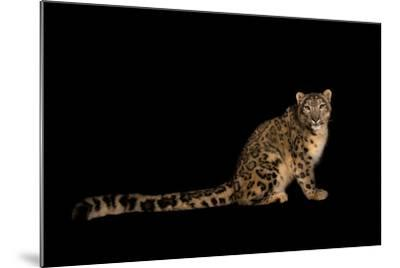 An Endangered Snow Leopard, Uncia Uncia.-Joel Sartore-Mounted Photographic Print